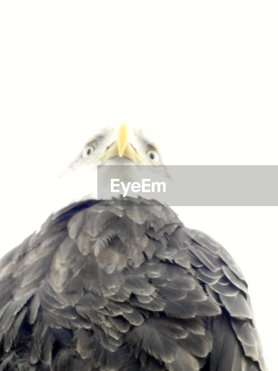 bird, animal themes, animals in the wild, one animal, beak, copy space, animal wildlife, close-up, no people, day, bird of prey, outdoors, nature, white background, beauty in nature