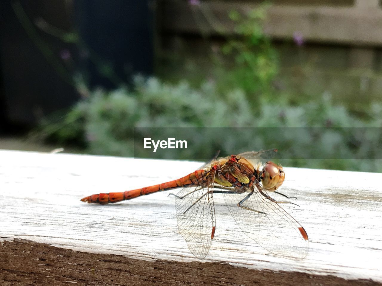 insect, invertebrate, animal themes, one animal, animal, animal wildlife, animals in the wild, close-up, focus on foreground, animal wing, day, no people, outdoors, table, wood - material, nature, animal body part, dragonfly, zoology, selective focus