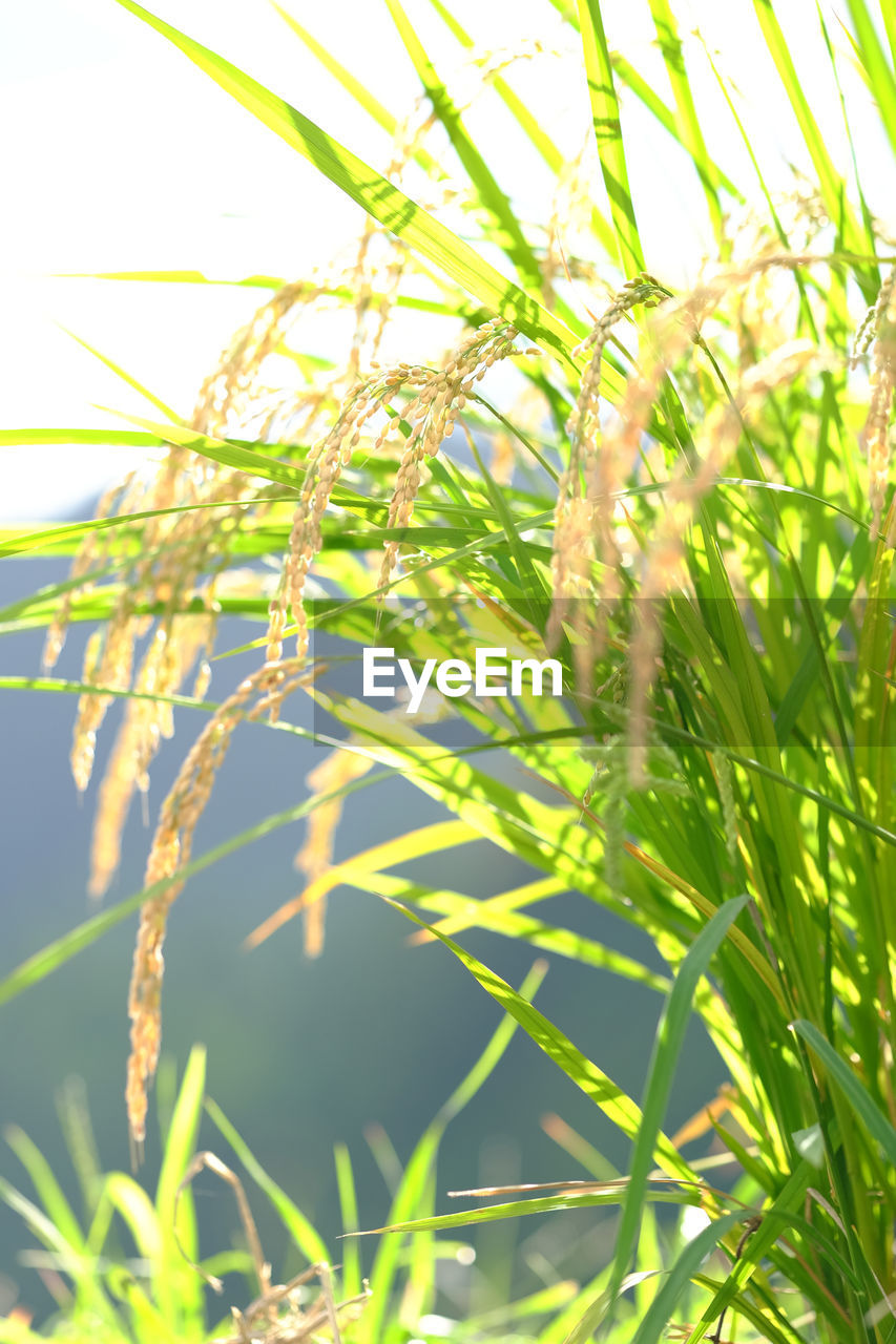 growth, grass, nature, plant, day, outdoors, no people, field, green color, sunlight, close-up, tranquility, agriculture, beauty in nature, freshness, sky