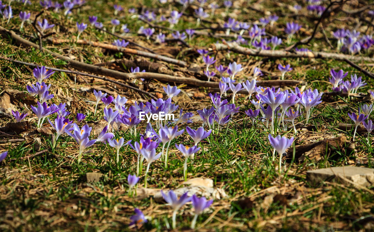 flower, purple, beauty in nature, growth, fragility, nature, selective focus, field, no people, petal, day, freshness, plant, outdoors, close-up, blooming, crocus, flower head