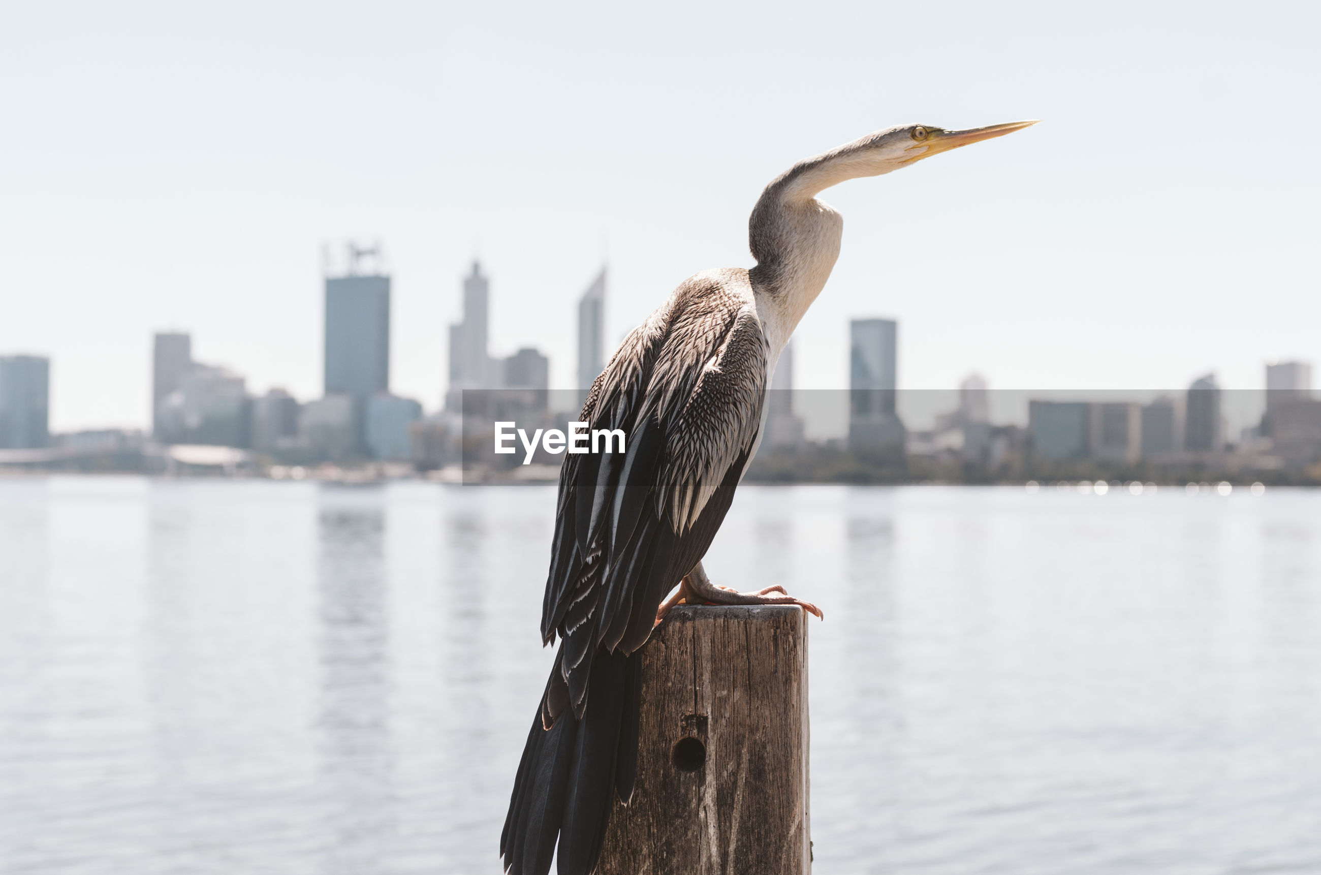 BIRD PERCHING ON WOODEN POST IN RIVER AGAINST CITY