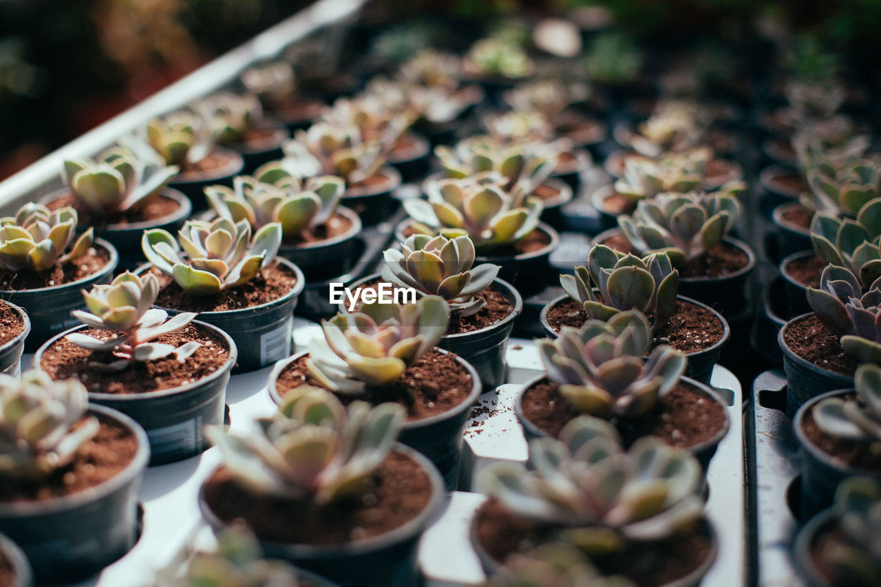 selective focus, succulent plant, freshness, no people, close-up, cactus, plant, food and drink, in a row, arrangement, day, high angle view, large group of objects, potted plant, indoors, food, abundance, growth, table, choice, plant nursery