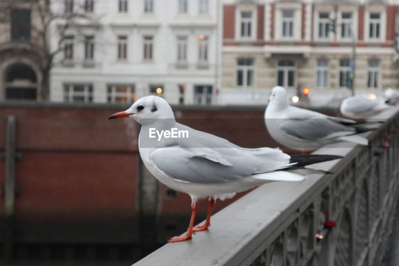 bird, animal themes, vertebrate, animal, animals in the wild, animal wildlife, built structure, architecture, building exterior, group of animals, seagull, perching, focus on foreground, day, railing, white color, no people, two animals, building, outdoors