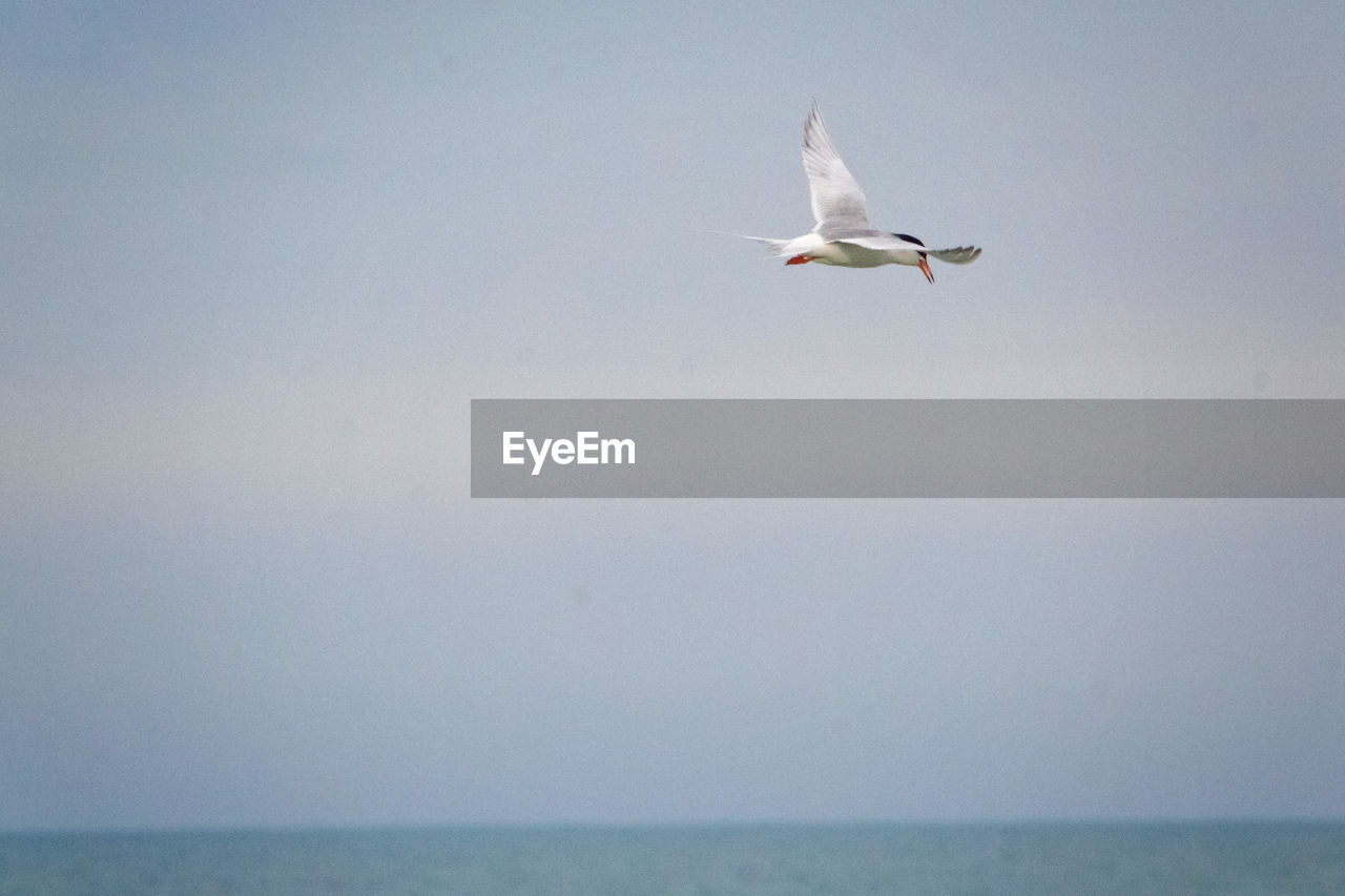 sky, animal wildlife, bird, animals in the wild, animal themes, animal, flying, vertebrate, sea, one animal, water, clear sky, spread wings, low angle view, day, no people, horizon over water, nature, seagull, outdoors