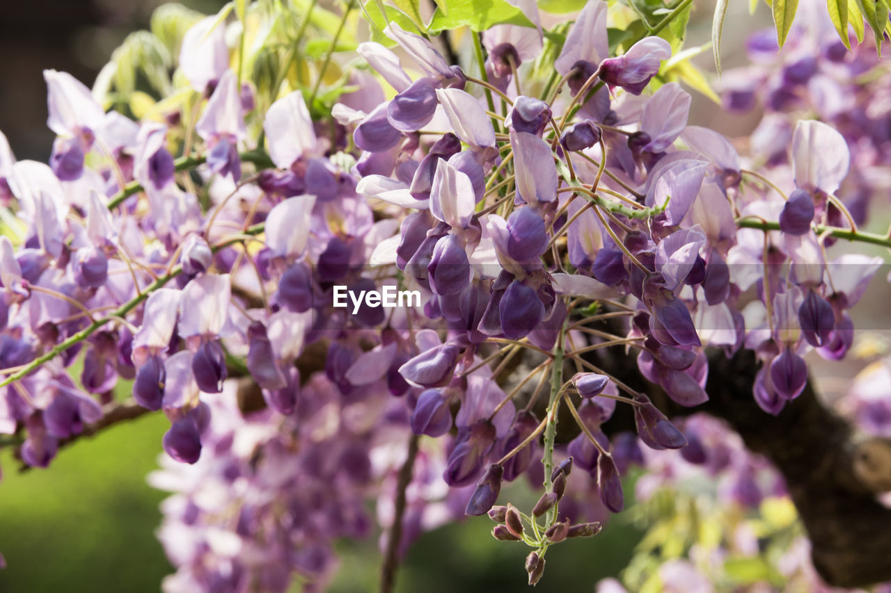 flower, flowering plant, fragility, vulnerability, plant, beauty in nature, growth, freshness, purple, close-up, selective focus, nature, lavender, day, petal, wisteria, lavender colored, vine, no people, blossom, springtime, outdoors, flower head, lilac