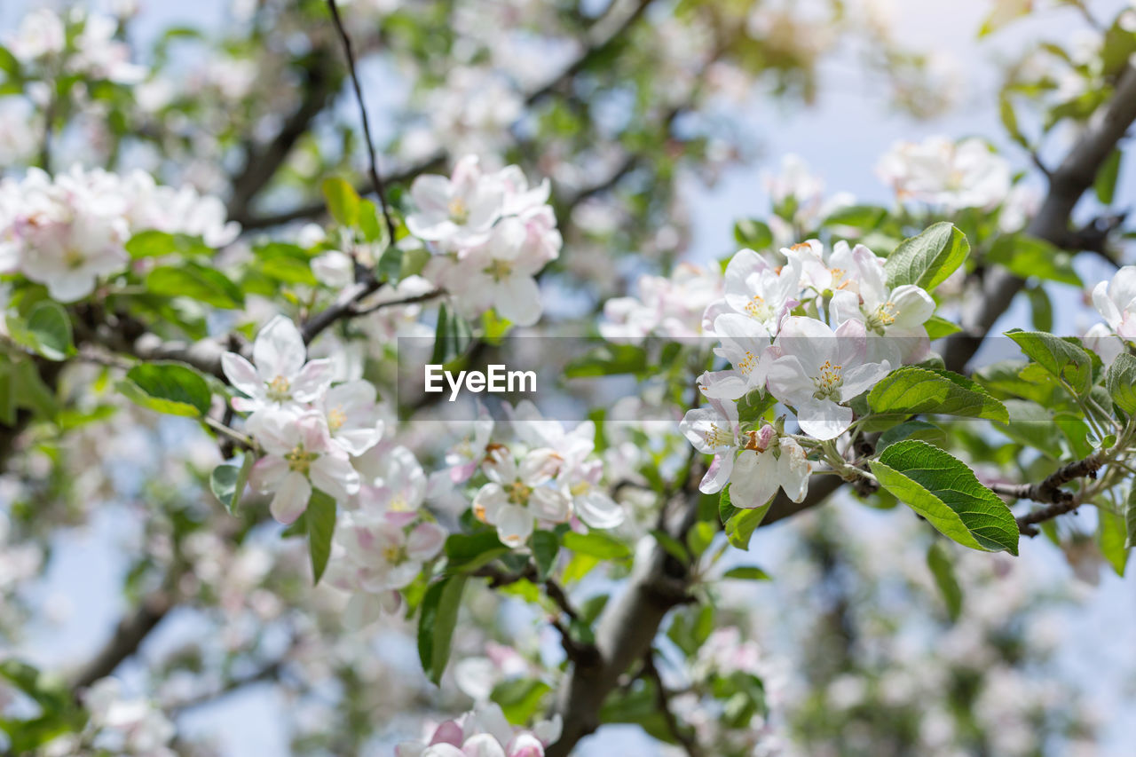 flowering plant, flower, plant, freshness, fragility, vulnerability, beauty in nature, growth, tree, close-up, day, blossom, nature, petal, white color, springtime, branch, no people, flower head, cherry blossom, outdoors, cherry tree, spring, bunch of flowers