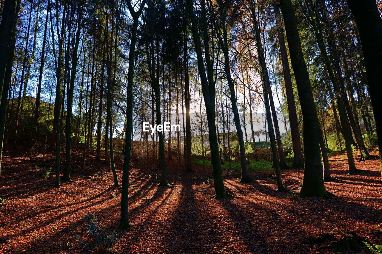 tree, forest, land, plant, tranquility, woodland, trunk, tree trunk, tranquil scene, beauty in nature, nature, non-urban scene, scenics - nature, growth, sunlight, no people, day, landscape, sky, outdoors
