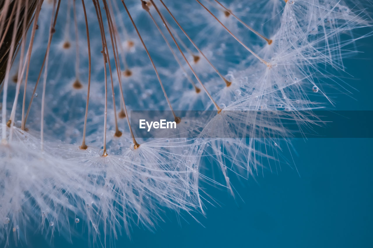 fragility, close-up, vulnerability, dandelion, no people, blue, softness, nature, beauty in nature, white color, lightweight, feather, selective focus, plant, focus on foreground, freshness, dandelion seed, flower, seed, day, outdoors