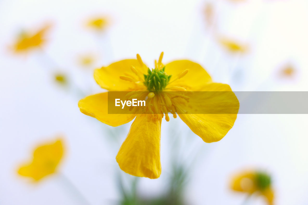CLOSE-UP OF YELLOW FLOWERING PLANT AGAINST WHITE BACKGROUND