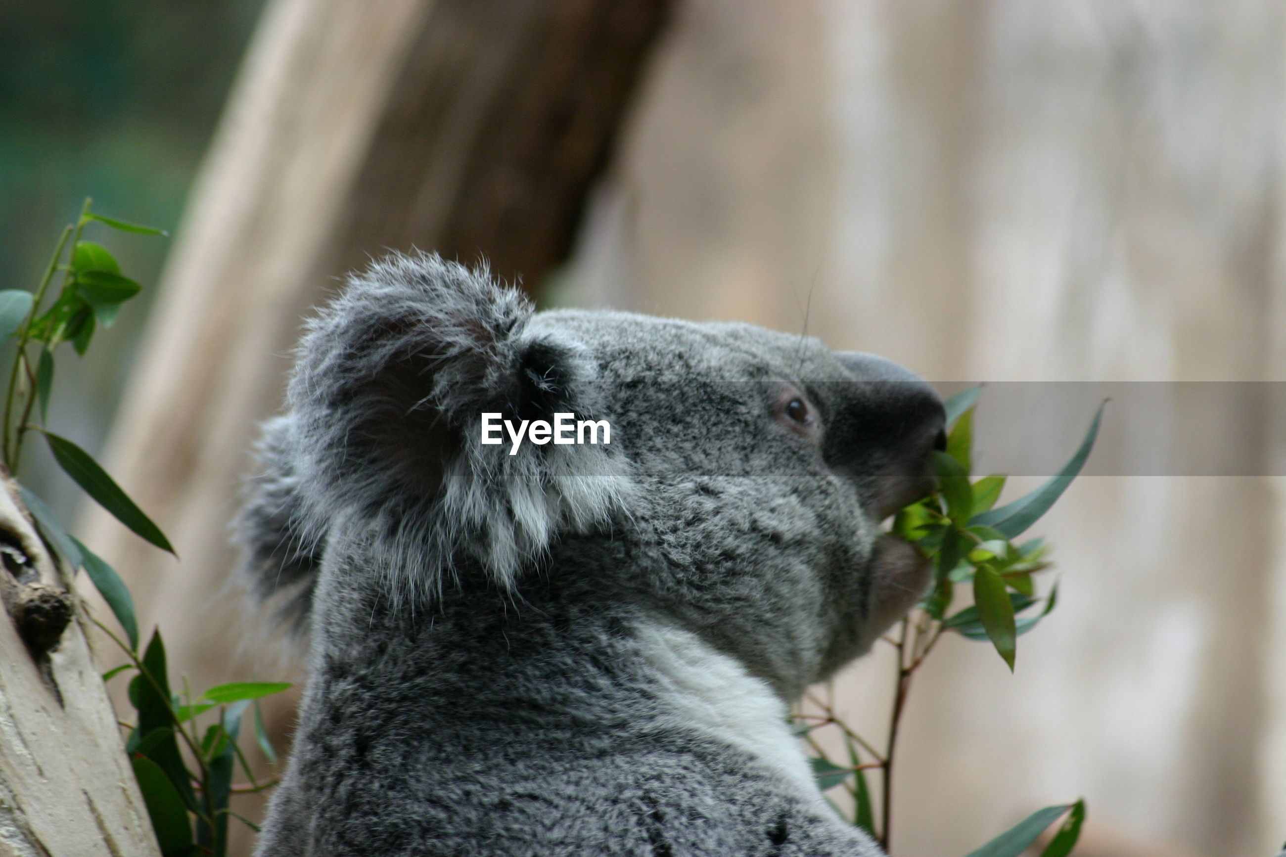 Koala with eukalyptus