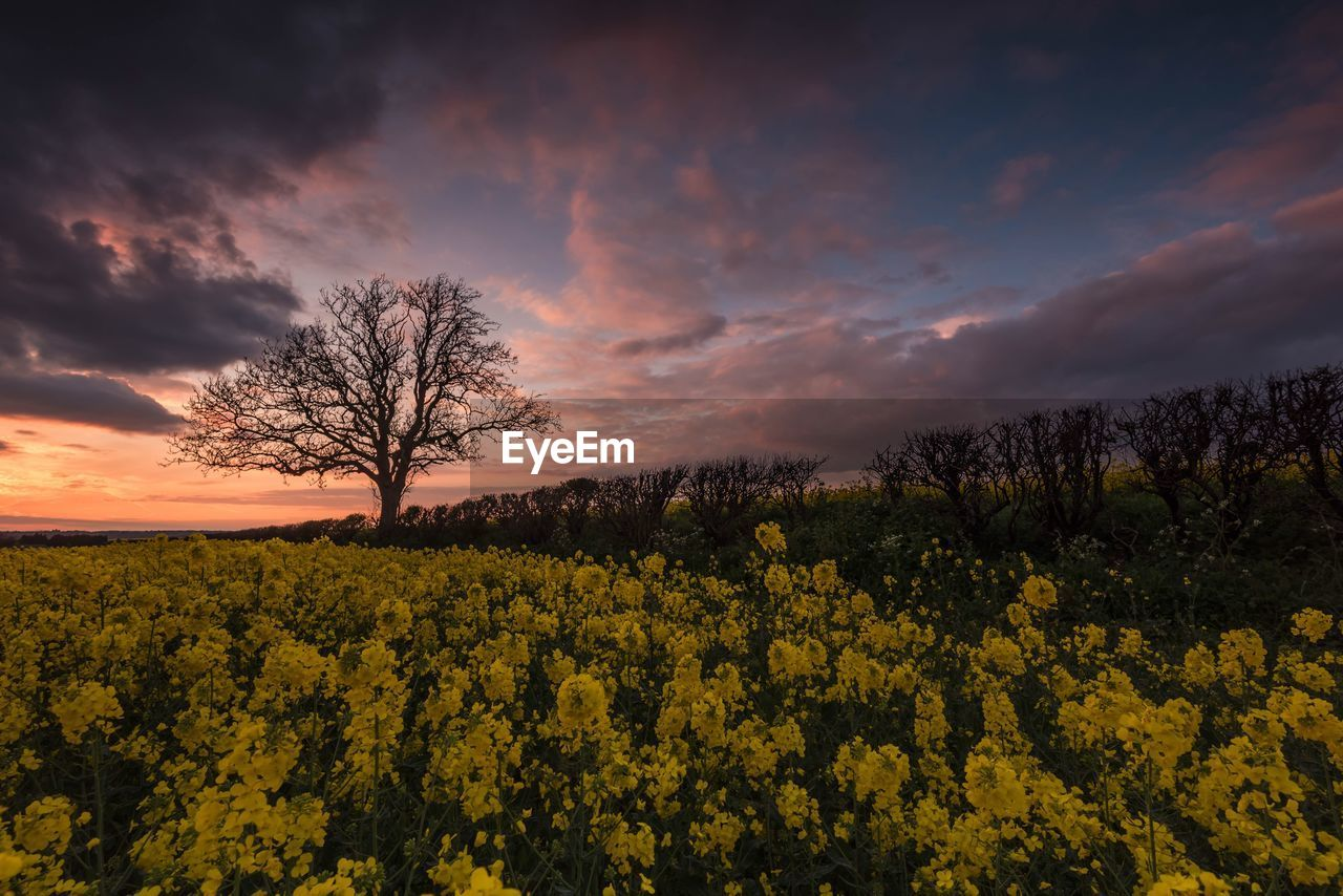 Yellow flowers on field against sky during sunset