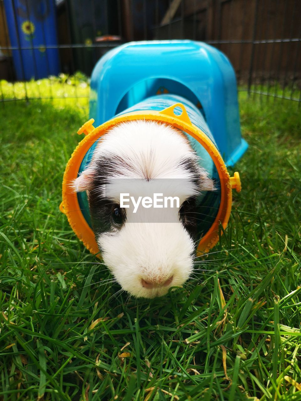 one animal, animal themes, animal, domestic, mammal, pets, grass, plant, domestic animals, vertebrate, guinea pig, field, green color, rodent, nature, day, no people, land, animal wildlife, close-up