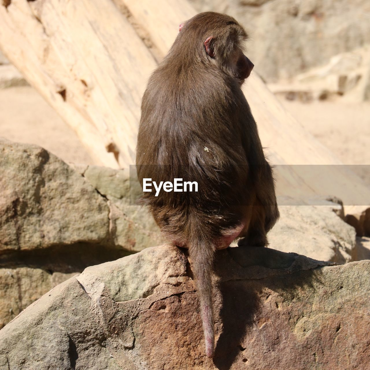 animal, animal themes, animals in the wild, animal wildlife, one animal, monkey, vertebrate, primate, mammal, solid, day, sitting, no people, rock, rock - object, nature, wood - material, focus on foreground, outdoors, sunlight, baboon