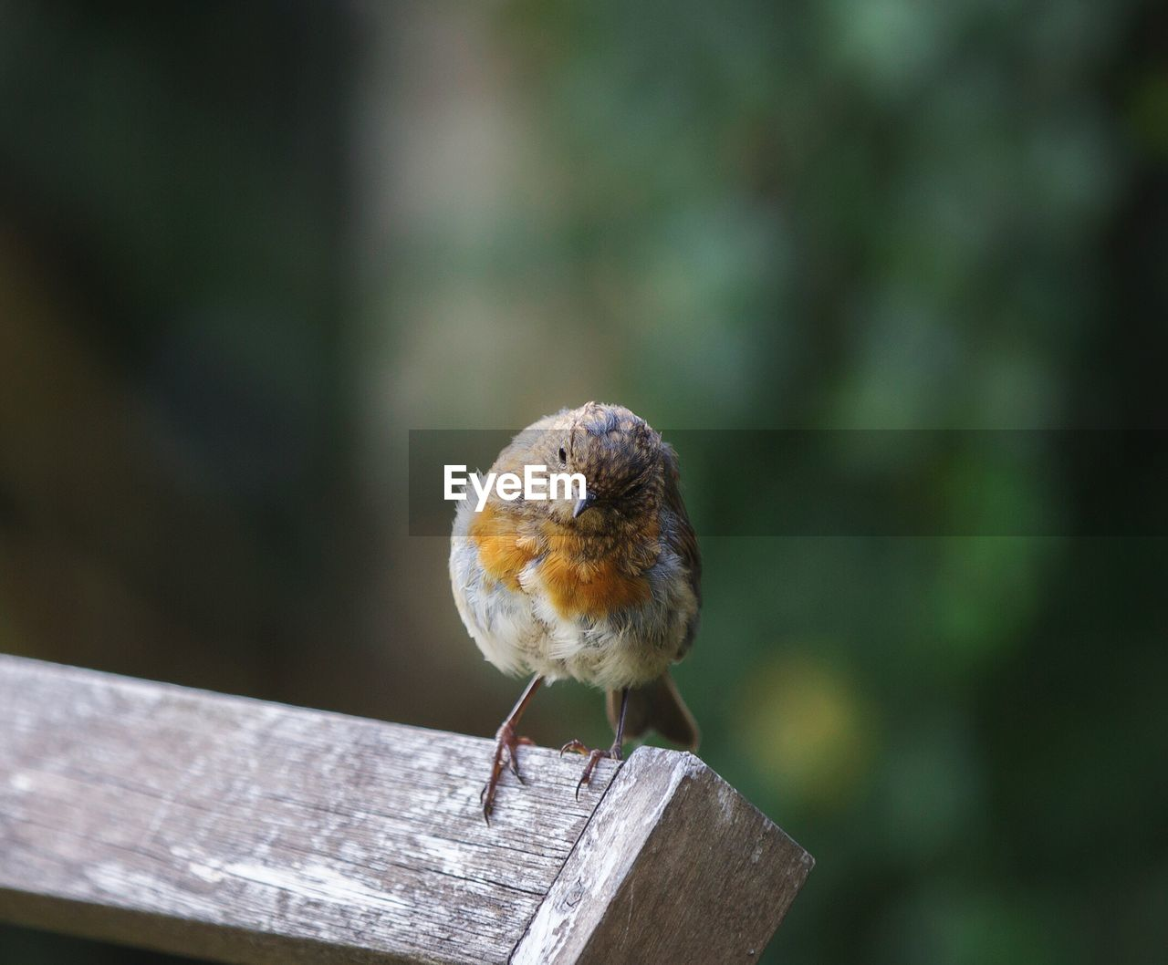 one animal, wood - material, animal themes, animal wildlife, animal, focus on foreground, animals in the wild, vertebrate, perching, bird, close-up, day, no people, outdoors, robin, railing, nature, zoology, front view, brown