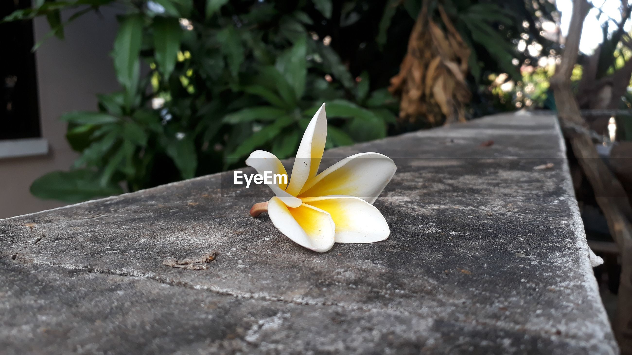 Close-up of frangipani on plant