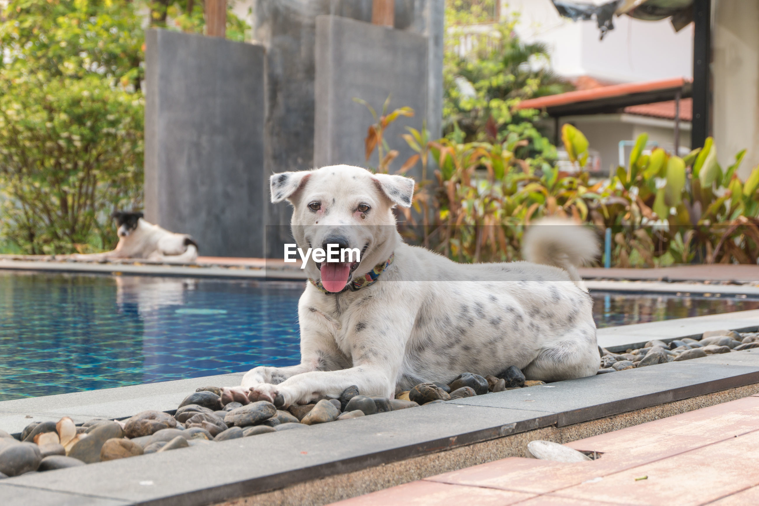 Dogs relaxing by swimming pool