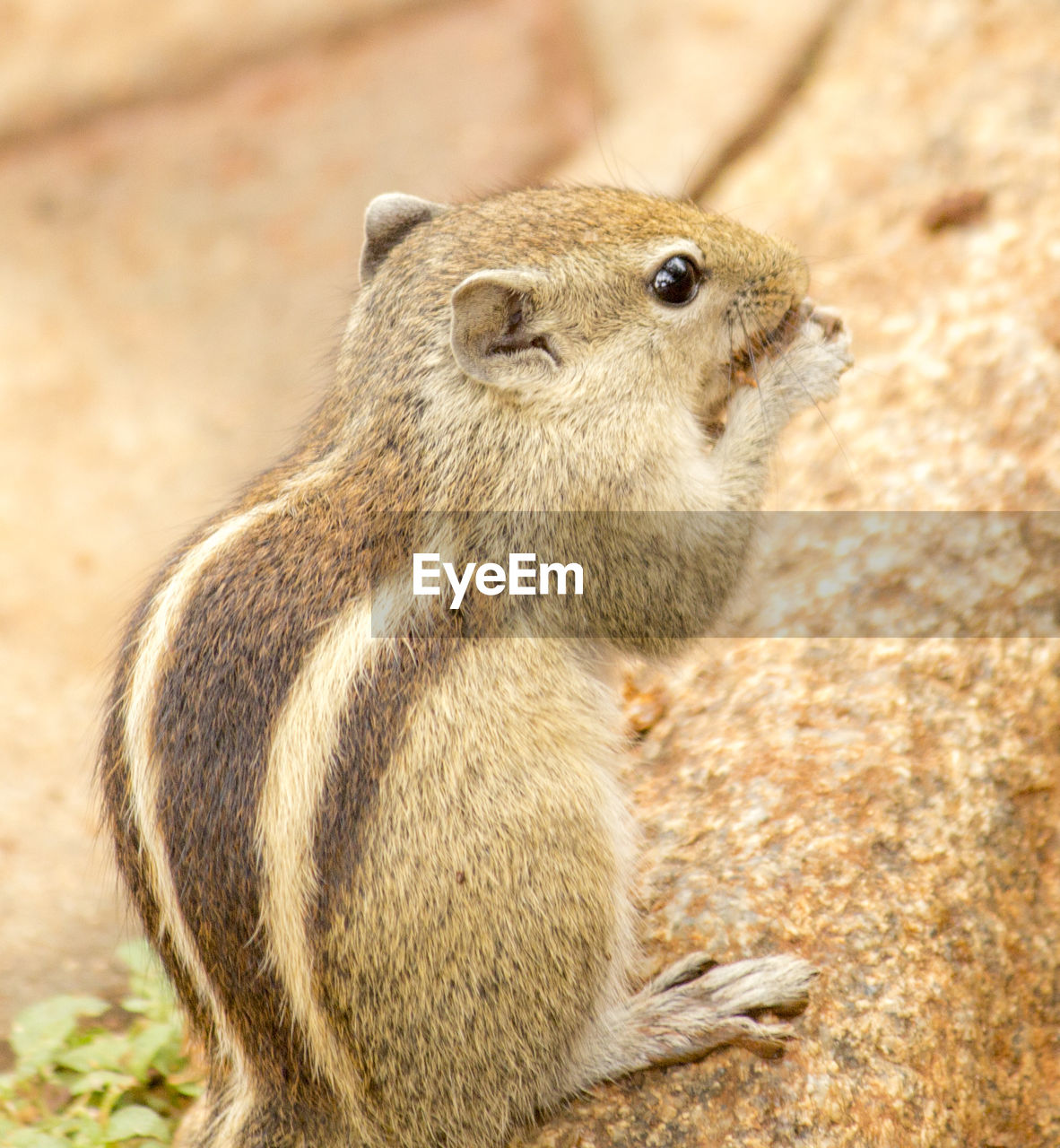 animal wildlife, animals in the wild, one animal, mammal, no people, vertebrate, rodent, focus on foreground, close-up, looking, day, nature, looking away, land, outdoors, field, sitting, whisker, herbivorous