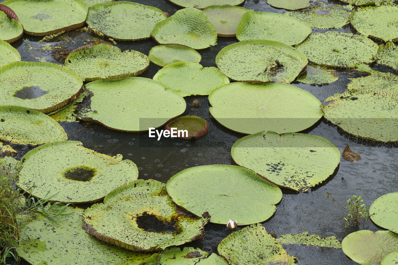 HIGH ANGLE VIEW OF LEAVES FLOATING ON POND