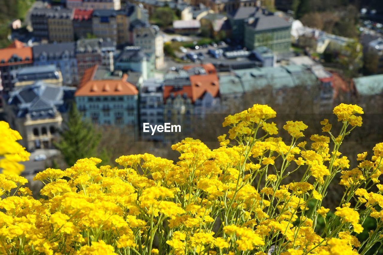 yellow, architecture, building exterior, flowering plant, plant, flower, built structure, building, growth, residential district, beauty in nature, nature, day, no people, city, freshness, focus on foreground, oilseed rape, outdoors, house