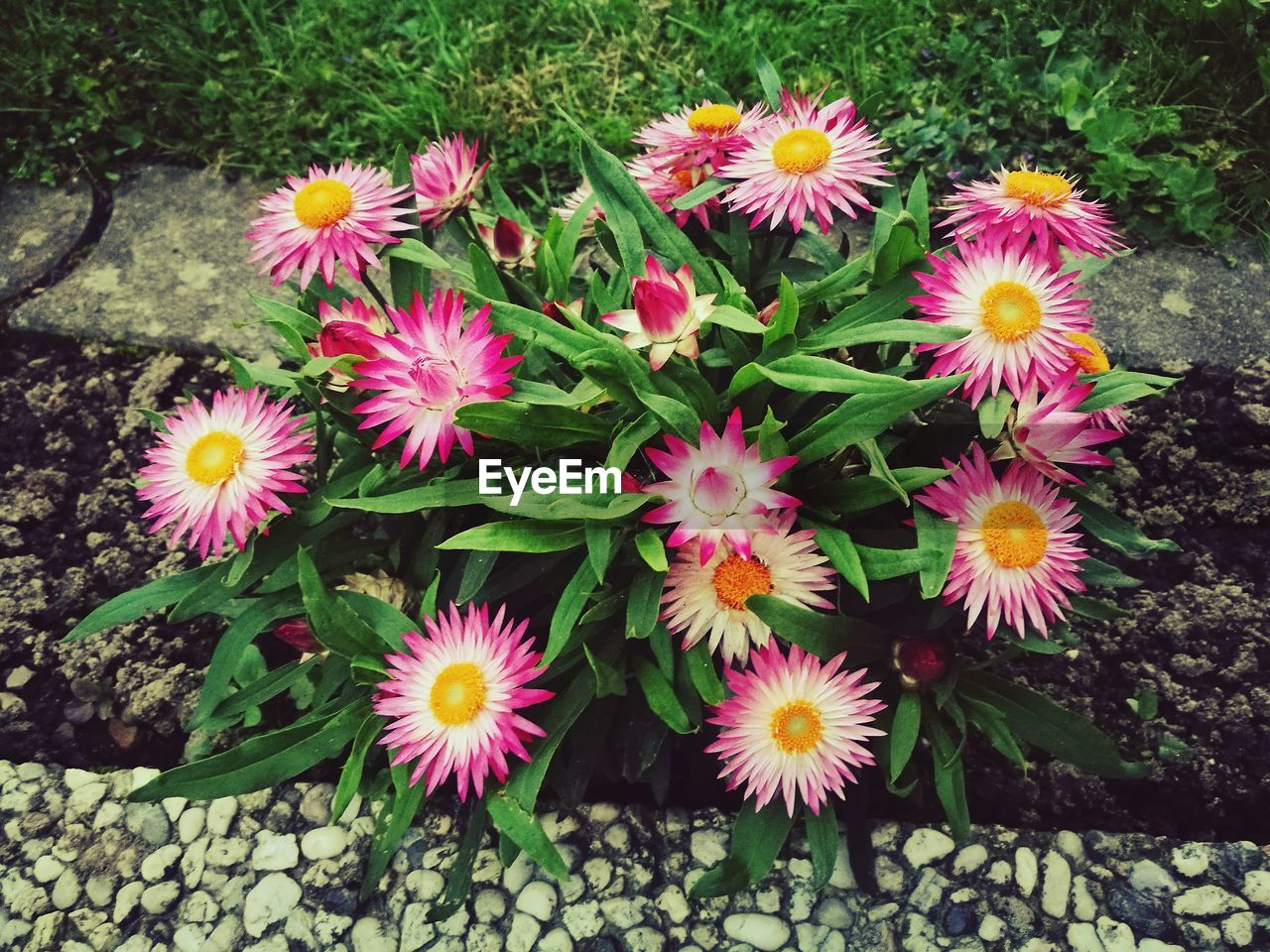 flower, nature, growth, petal, fragility, beauty in nature, freshness, high angle view, flower head, plant, outdoors, blooming, no people, day, field