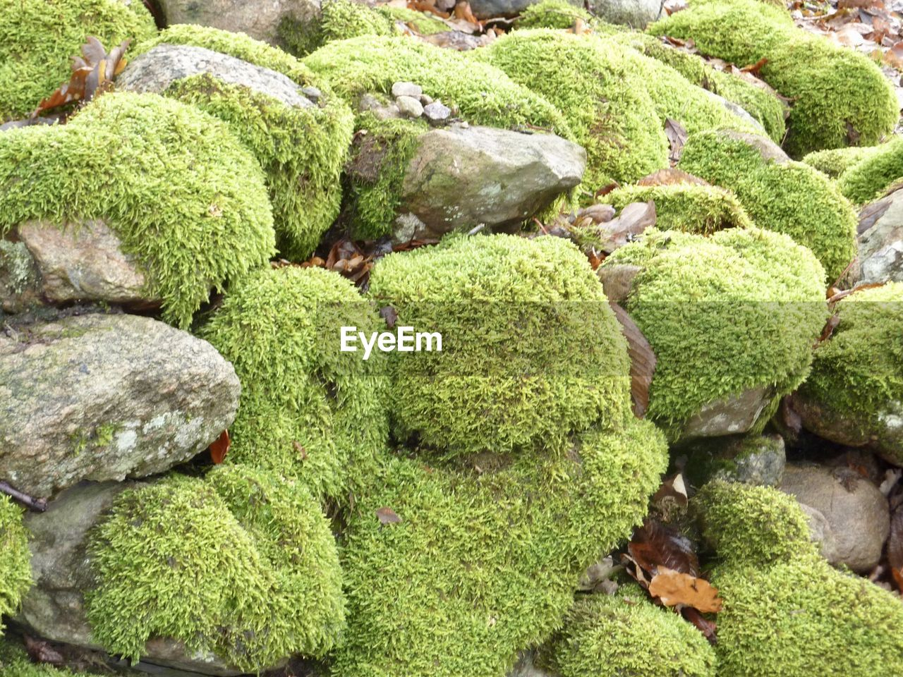 green color, no people, plant, day, full frame, growth, nature, abundance, moss, high angle view, solid, backgrounds, rock, beauty in nature, close-up, outdoors, rock - object, food and drink, freshness, textured