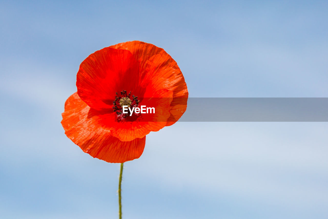 flower, freshness, flowering plant, beauty in nature, fragility, vulnerability, petal, plant, flower head, inflorescence, red, poppy, close-up, sky, nature, growth, orange color, focus on foreground, no people, outdoors, pollen, orange