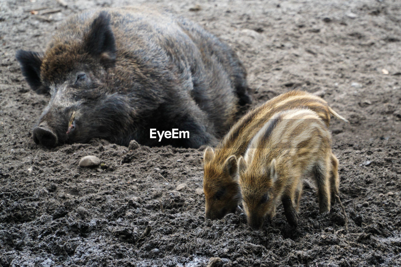 Hogs Animal Themes Animal Wildlife Animals In The Wild Baby Pig Close-up Day Mammal Nature No People One Animal Outdoors Pig Wild Hog Wolf