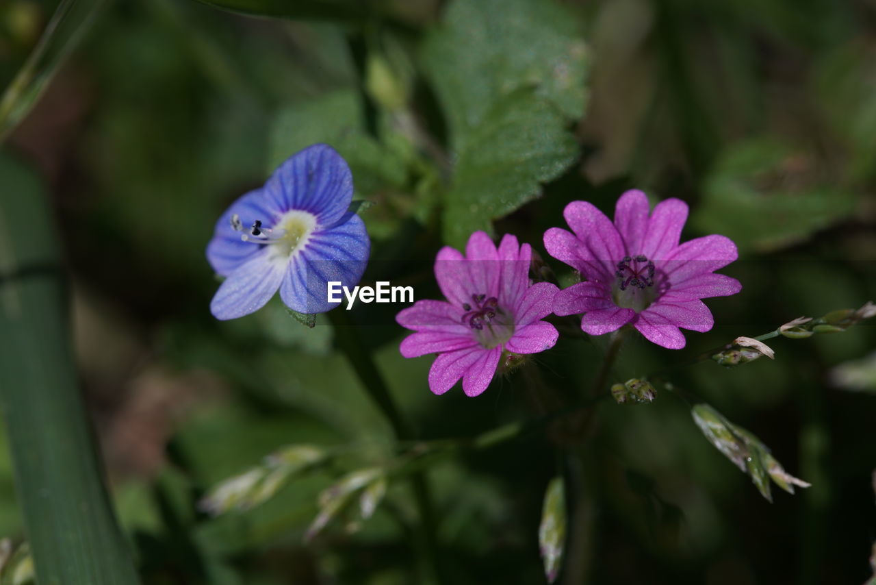 flower, nature, beauty in nature, plant, growth, petal, fragility, no people, purple, outdoors, day, freshness, flower head, close-up
