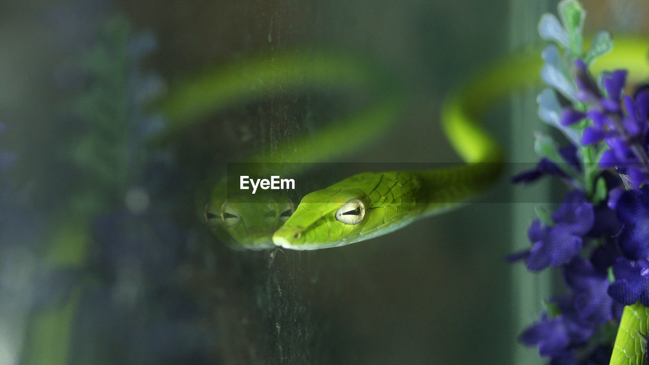 Close-up of green snake in tank