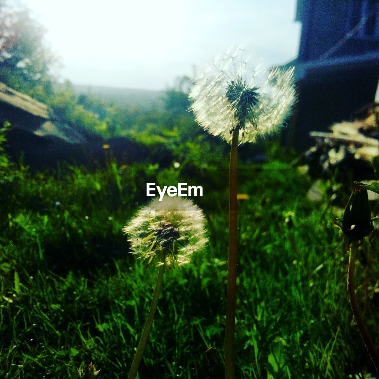 flower, growth, nature, fragility, dandelion, plant, freshness, beauty in nature, stem, botany, outdoors, softness, uncultivated, wildflower, flower head, day, field, no people, grass, close-up, focus on foreground, blooming, sky