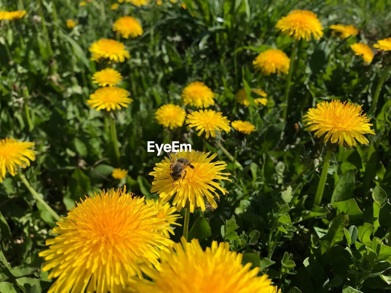 flower, flowering plant, freshness, yellow, plant, fragility, beauty in nature, vulnerability, growth, flower head, petal, inflorescence, close-up, nature, field, no people, day, botany, land, outdoors, pollen