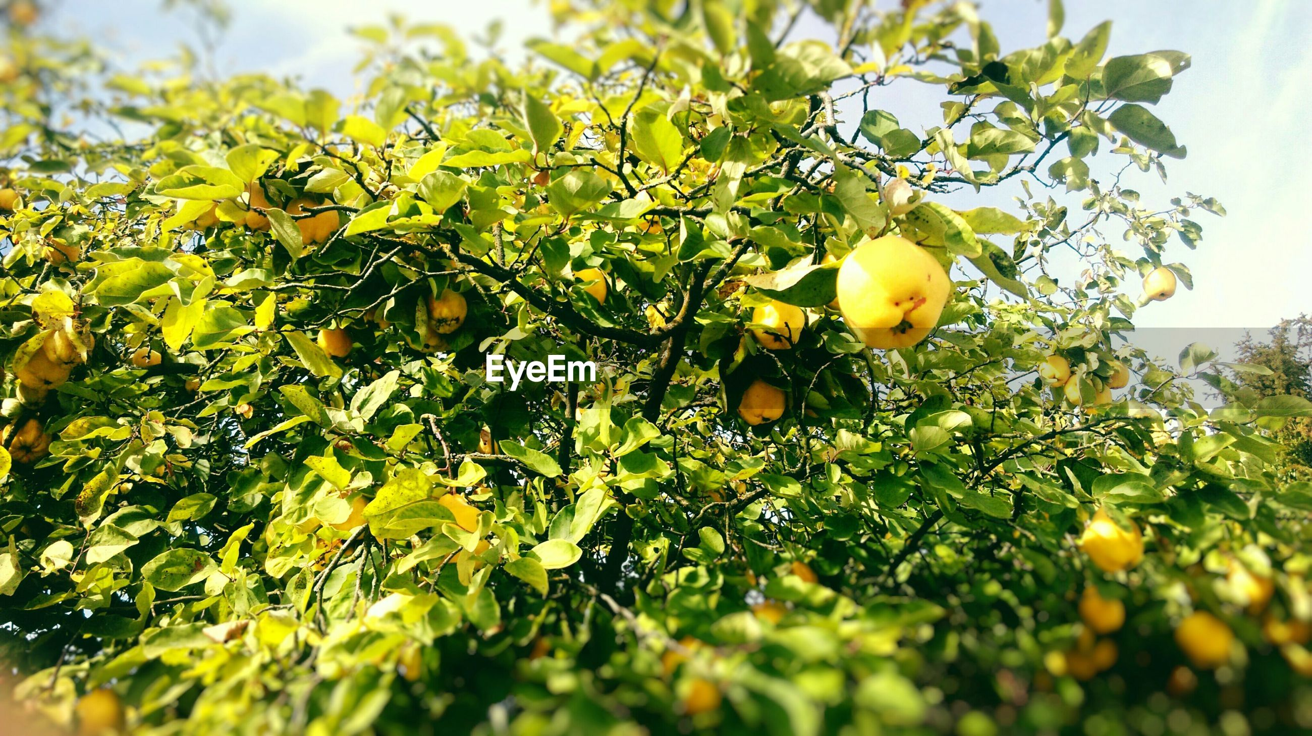 food and drink, fruit, food, tree, healthy eating, growth, freshness, green color, branch, leaf, agriculture, ripe, nature, close-up, grape, yellow, vineyard, growing, day, low angle view