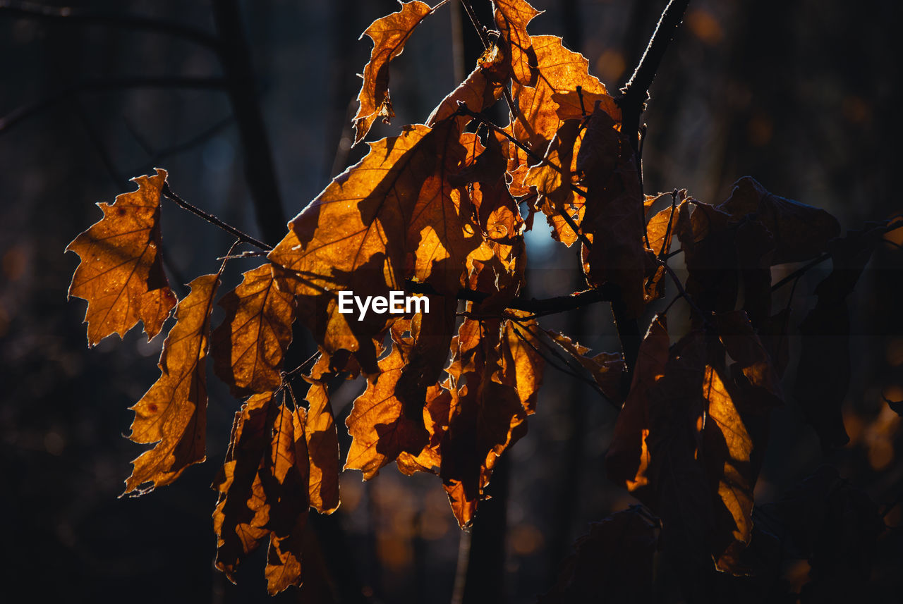 autumn, leaf, plant part, focus on foreground, plant, close-up, change, leaves, nature, dry, beauty in nature, no people, tree, day, vulnerability, outdoors, fragility, selective focus, orange color, brown, autumn collection, natural condition, maple leaf, wilted plant, dried