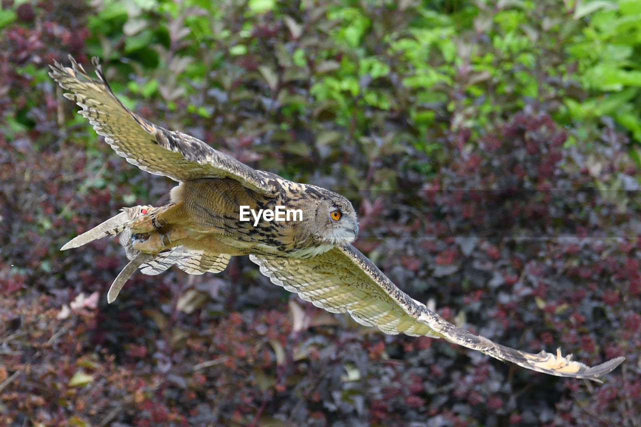 View of owl flying in forest