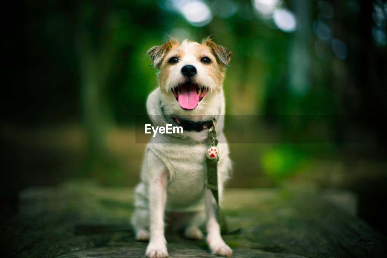 one animal, dog, canine, mammal, animal themes, animal, pets, domestic animals, domestic, portrait, looking at camera, sticking out tongue, vertebrate, focus on foreground, mouth open, selective focus, mouth, facial expression, no people, day, animal tongue, panting