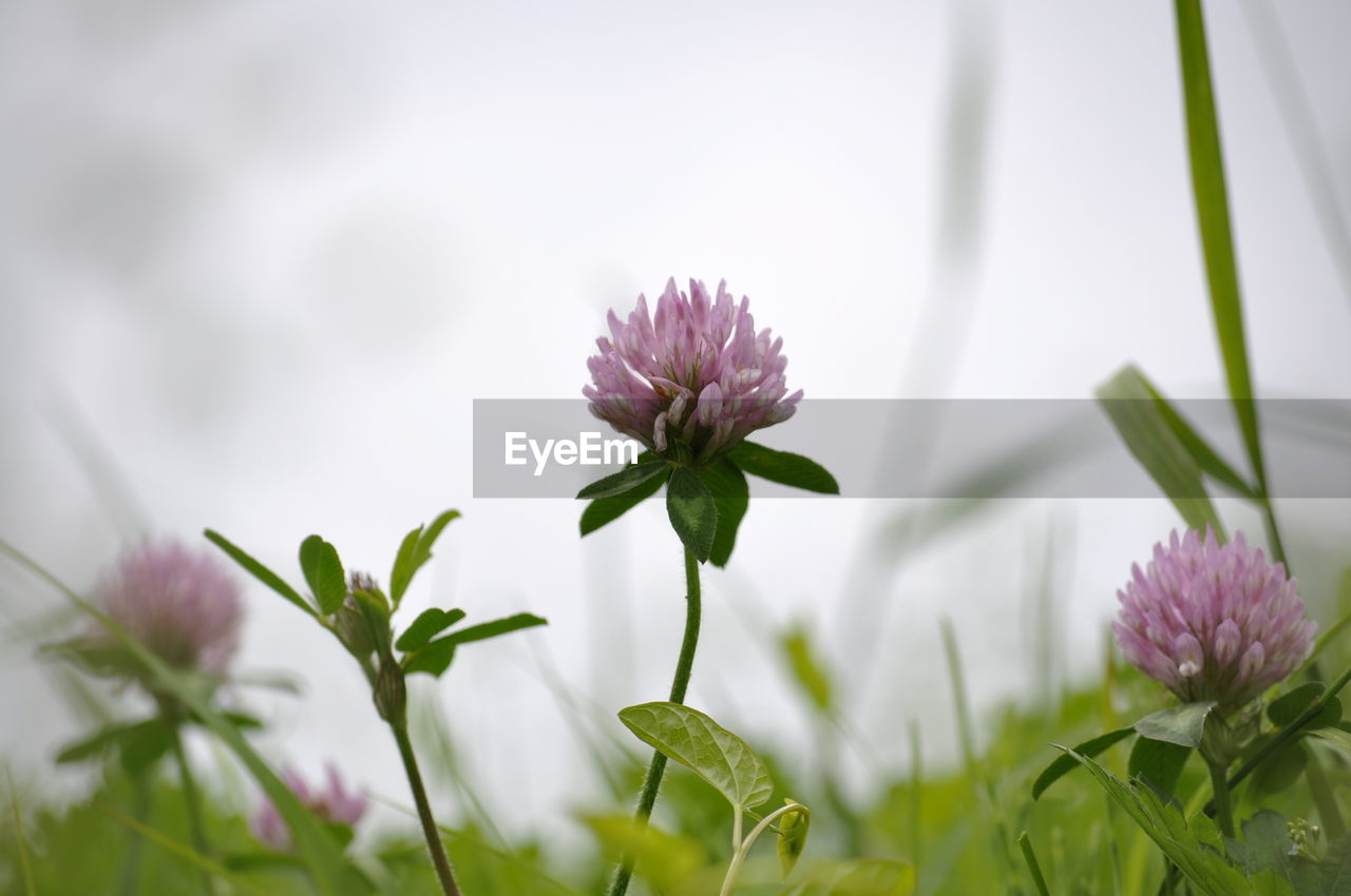 flowering plant, flower, plant, freshness, fragility, beauty in nature, vulnerability, growth, petal, close-up, flower head, selective focus, inflorescence, nature, purple, no people, day, plant stem, green color, pink color, outdoors, springtime, sepal