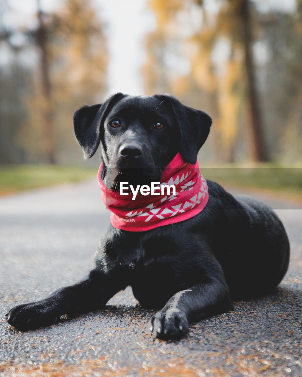 Portrait of black dog sitting on road