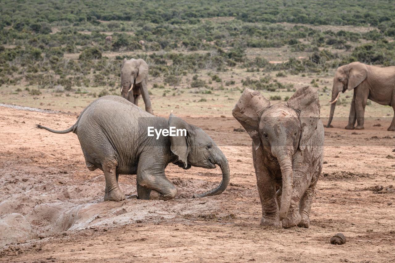 ELEPHANT WALKING IN A DESERT