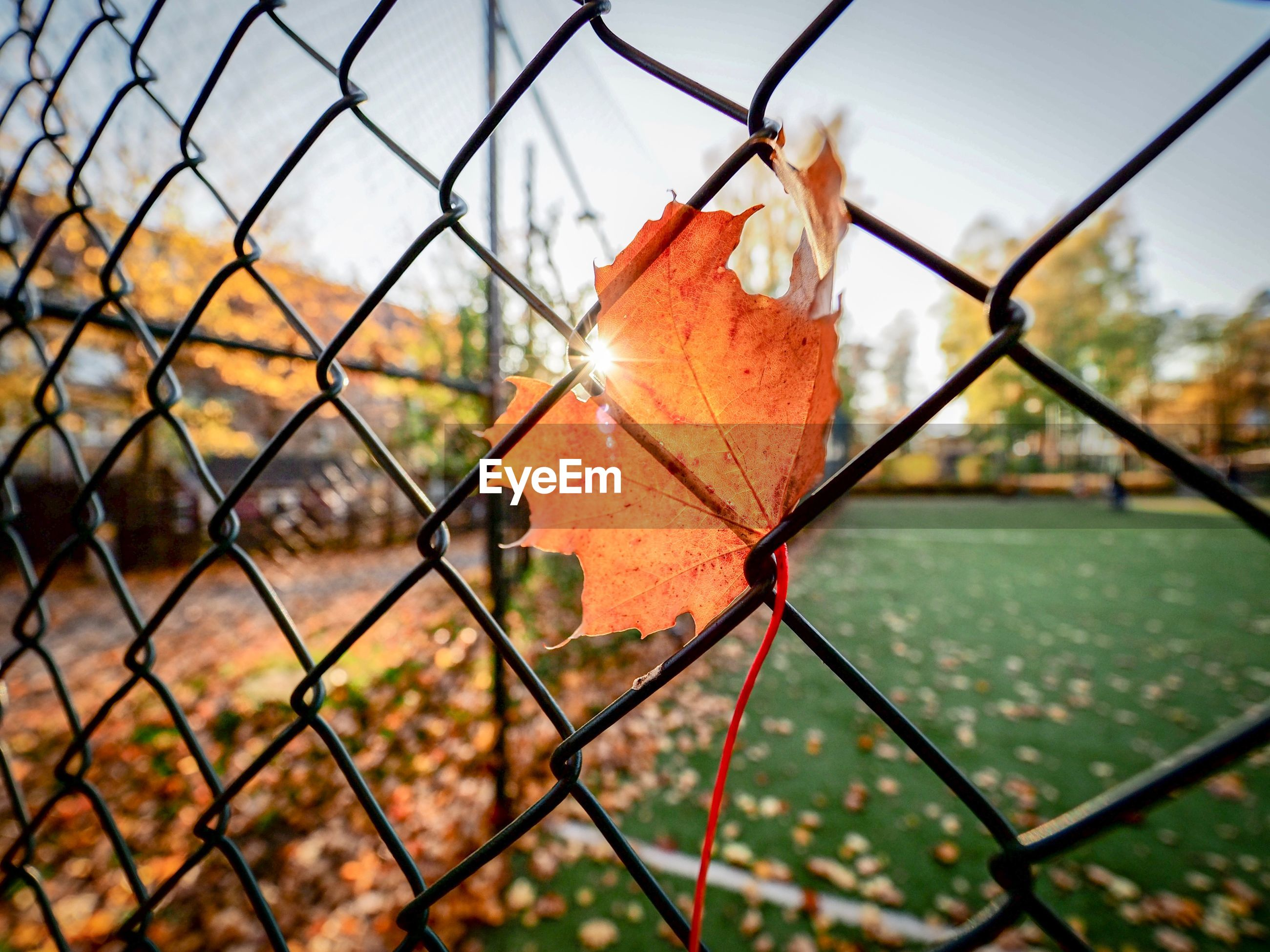 Close-up of maple leaf on chainlink fence
