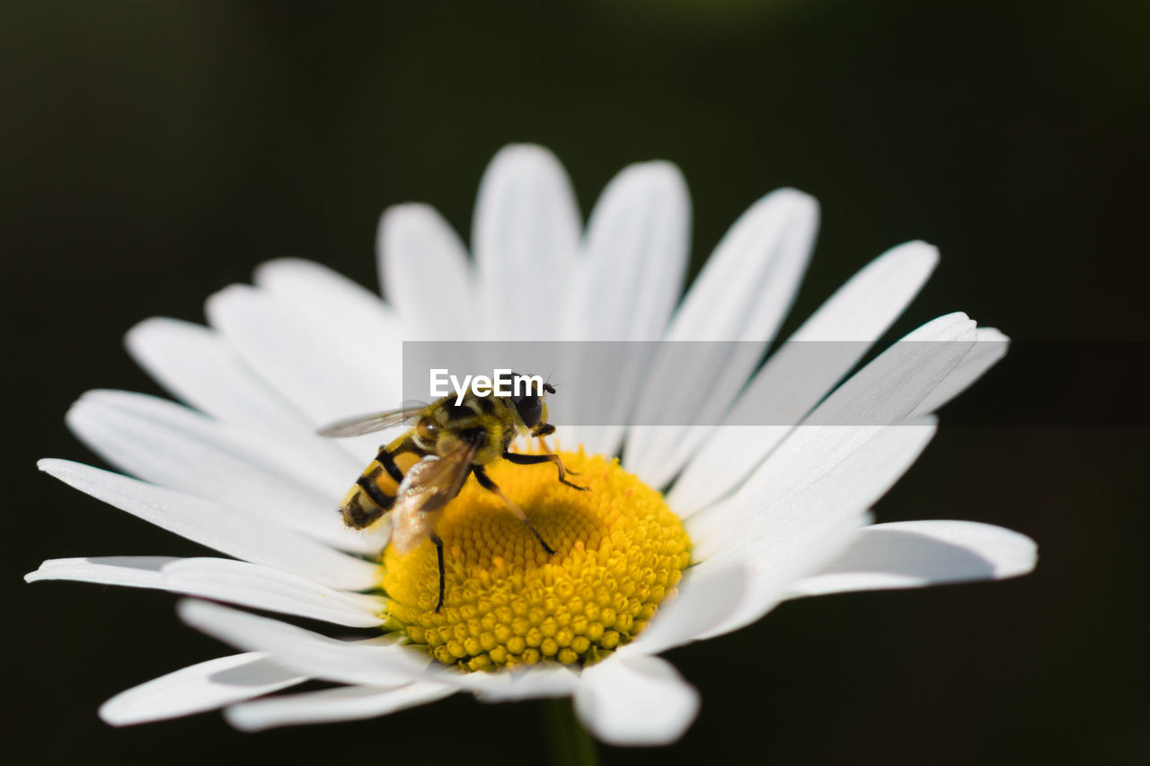 flower, petal, insect, fragility, freshness, one animal, animal themes, beauty in nature, animals in the wild, white color, nature, pollen, flower head, growth, yellow, pollination, bee, animal wildlife, symbiotic relationship, no people, close-up, outdoors, plant, black background, bumblebee, day