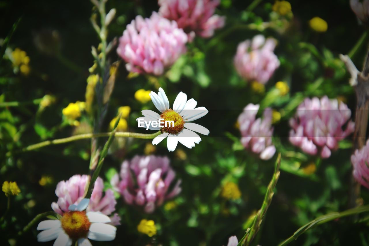 flower, fragility, freshness, beauty in nature, nature, growth, petal, flower head, pink color, plant, day, no people, outdoors, blooming, close-up