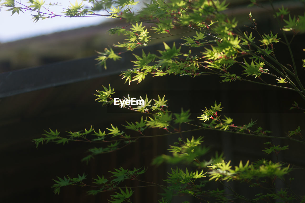 Close-up of japanese maple trees against blurred background