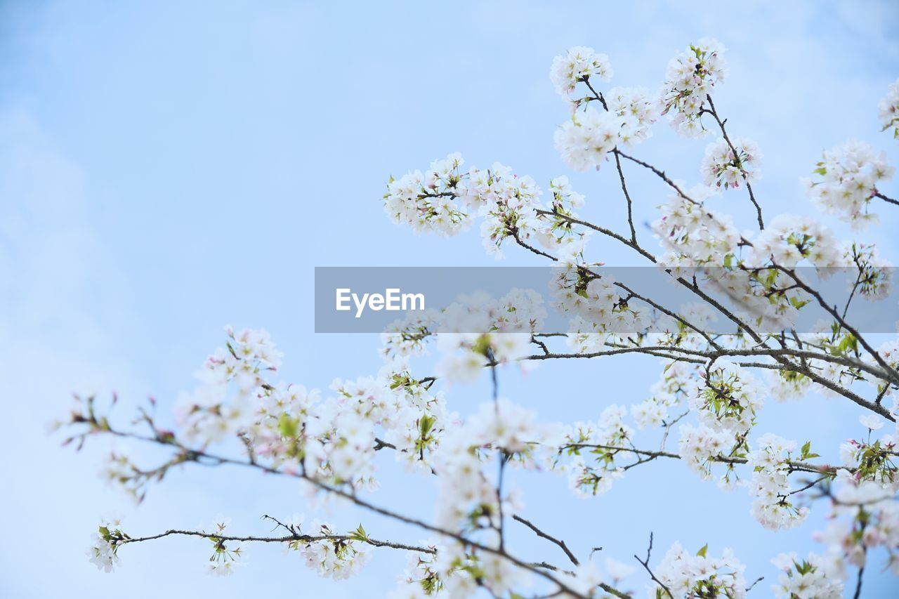 plant, flower, flowering plant, fragility, growth, vulnerability, beauty in nature, freshness, low angle view, tree, blossom, sky, branch, springtime, day, nature, no people, close-up, selective focus, white color, outdoors, cherry blossom, flower head, spring, cherry tree, bunch of flowers