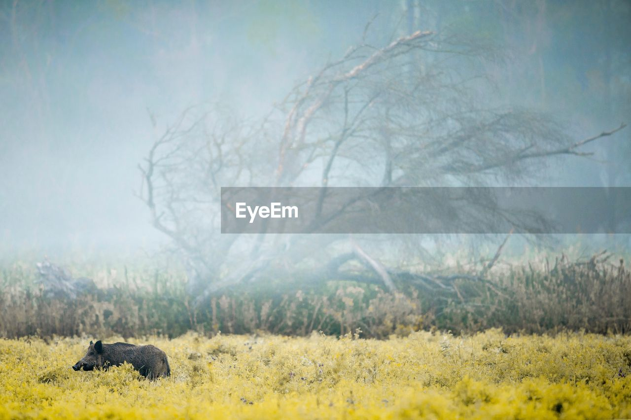 Pig standing amidst plants in forest during foggy weather