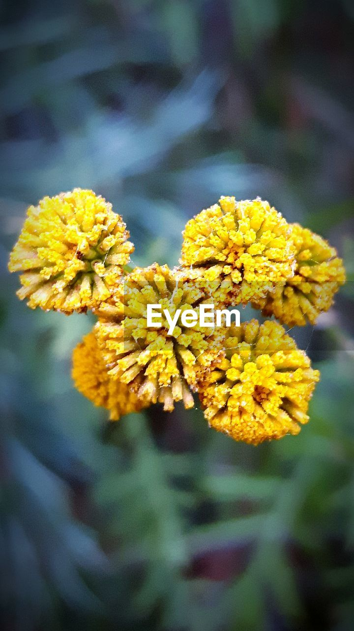 yellow, flower, nature, beauty in nature, fragility, growth, plant, focus on foreground, outdoors, no people, freshness, petal, close-up, day, marigold, flower head, springtime, lantana camara, blooming