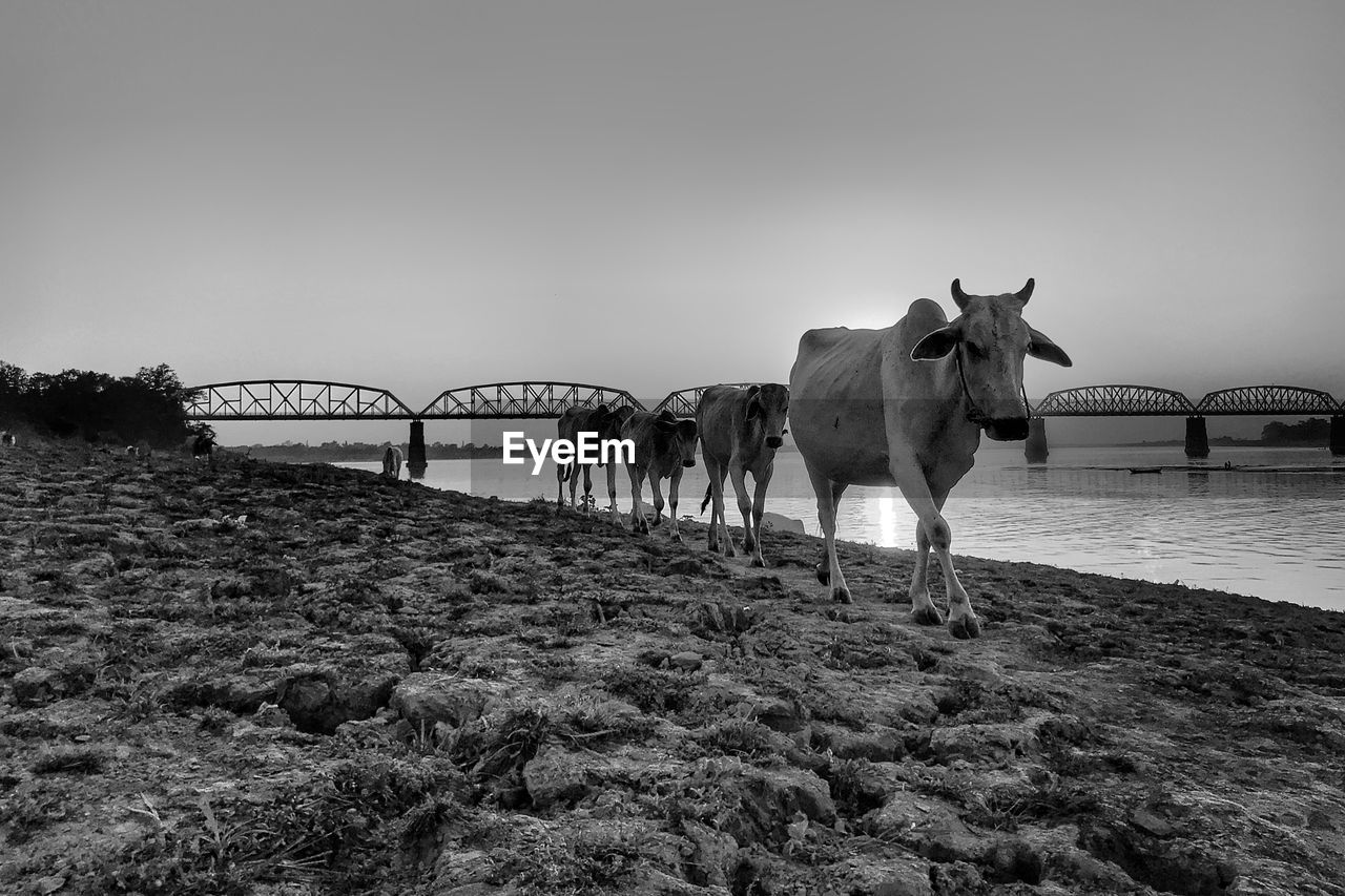 mammal, sky, animal, vertebrate, animal themes, domestic animals, domestic, water, pets, nature, built structure, livestock, group of animals, architecture, bridge, standing, clear sky, land, no people, bridge - man made structure, outdoors, herbivorous