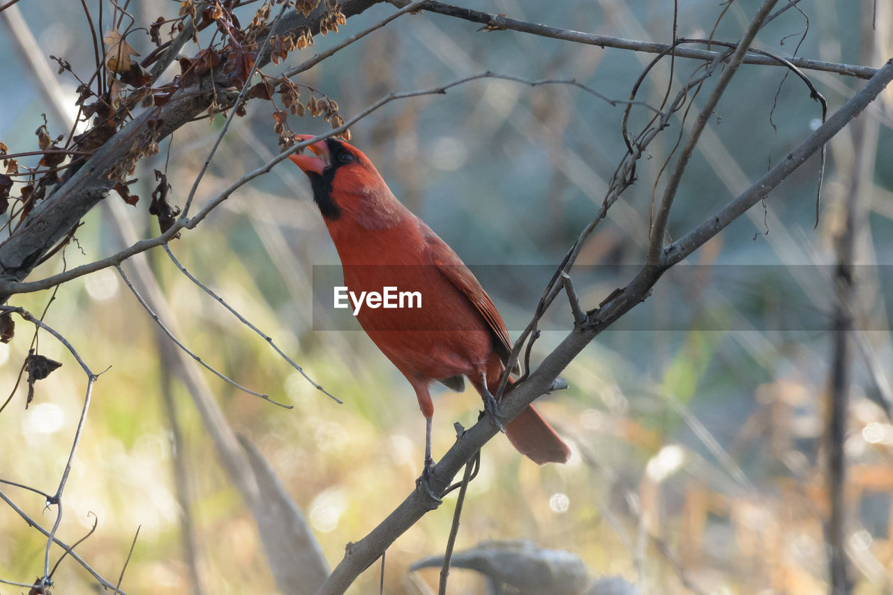 vertebrate, perching, bird, animal themes, animal, one animal, branch, tree, animal wildlife, animals in the wild, focus on foreground, plant, nature, cardinal - bird, no people, day, red, looking, outdoors, looking away