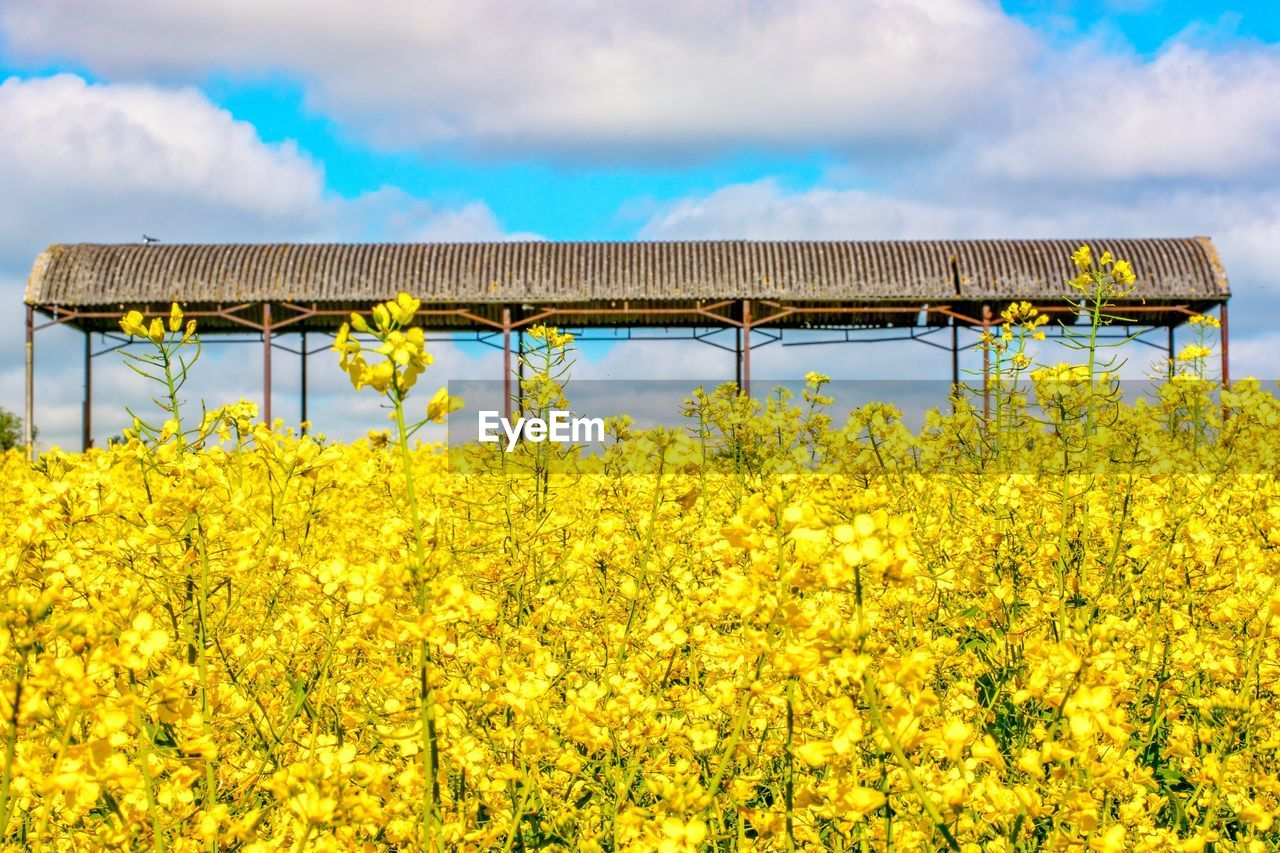 yellow, sky, plant, flower, land, flowering plant, growth, nature, agriculture, oilseed rape, cloud - sky, field, beauty in nature, rural scene, farm, freshness, no people, landscape, day, scenics - nature, outdoors