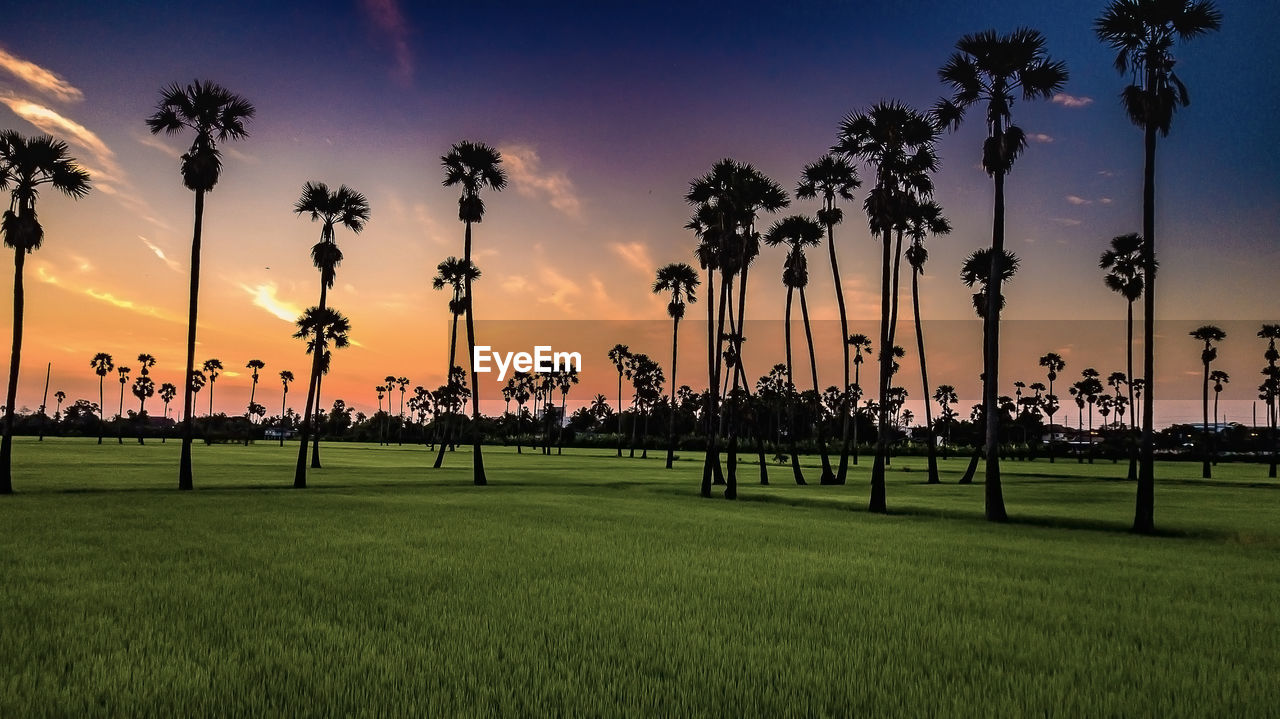 sunset, plant, sky, tree, grass, beauty in nature, orange color, growth, palm tree, scenics - nature, land, tranquil scene, sport, nature, field, tropical climate, tranquility, cloud - sky, green color, silhouette, outdoors
