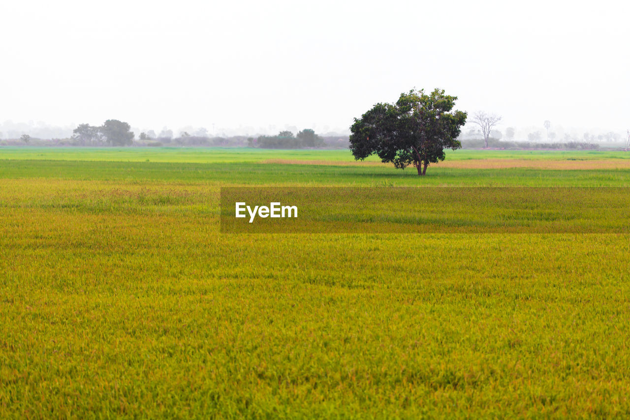 field, tree, landscape, nature, agriculture, beauty in nature, tranquil scene, tranquility, scenics, growth, no people, green color, rural scene, grass, yellow, outdoors, day, clear sky, sky